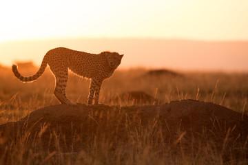 Cheetah on a mound in Masai Mara Grassland during dusk Wall mural