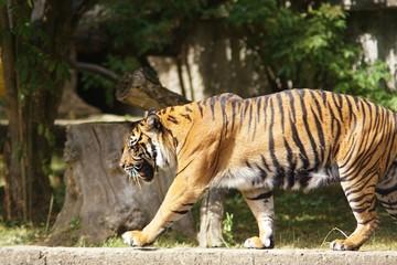 Tygrys w warszawskim Zoo