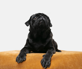 Wall Mural - Pug-dog companion is posing. Cute playful black doggy or pet playing isolated on white studio background, sitting on pouf. Concept of motion, action, movement, pets love. Looks happy, delighted, funny
