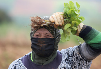 A farmer wears a face mask as she carries tobacco leaves in Houla