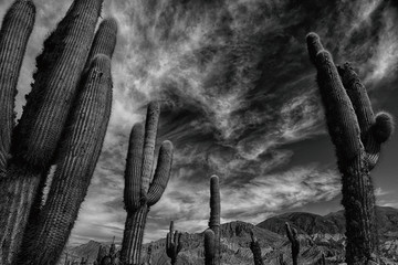 Photo sur cadre textile Cactus Black and white Cactus landscape