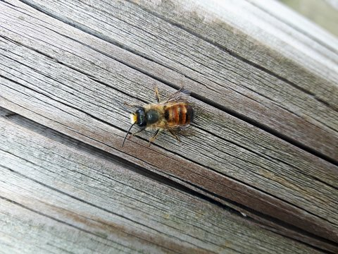 Osmia bicornis red mason bee on wooden board