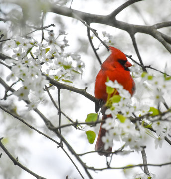 Male cardinal perched on white-flowered tree