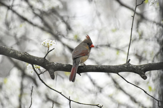 Female cardinal perched in tree