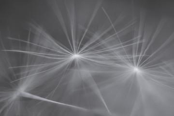 Fototapeta Close-up Of Dandelion Seeds