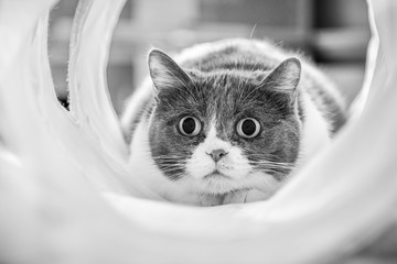 Cute cat with dilated pupils focused on a target while playing in a tunnel; black and white
