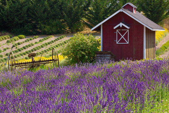 Beautiful rural scene with vibrant lavender in summertime in Sequim, Washington