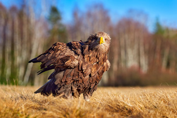 Wall Mural - White-tailed Eagle, Haliaeetus albicilla, sitting in the water, with brown grass in background. Wildlife scene from nature. Eagle in the water.