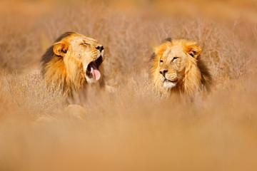 African lion. Kgalagadi black mane lion. African danger animal, Panthera leo, detail of big, Botswana, Africa. Cats in nature habitat. Wild cat in the desert habitat, sunny evening hot day. Wall mural