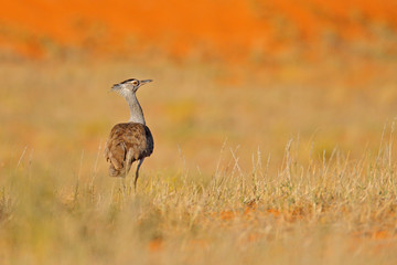 Fotomurales - Kori bustard, Ardeotis kori, largest flying bird native to Africa. Bird in the grass, evening light, Kgalagadi desert, Botswana. Wildlife scene from African nature. Red seand.