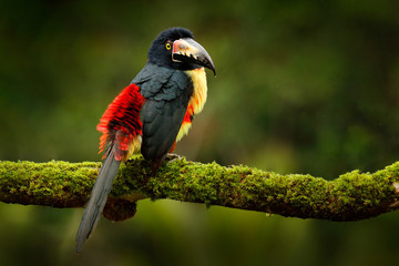 Wall Mural - Collared Aracari, Pteroglossus torquatus, bird with big bill. Bird sitting on the branch in the forest, Guatemala forest. Nature travel in central America. Small toucan open bill.