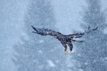 Fototapete - Golden eagle, snow flake fly.  Snowy winter with eagle. Bird of prey Golden Eagle starts from the snowy meadow. Wildlife scene from Norwegian nature. Big bird with open wings.