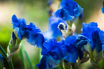 Close-up Of Blue Iris Flowers