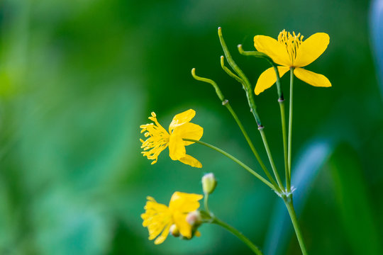 yellow blooming of the greater celandine. wild herbs on the grassy meadow on a sunny day. the plant from poppy family is also known as Chelidonium majus or tetterwort an used in medicine