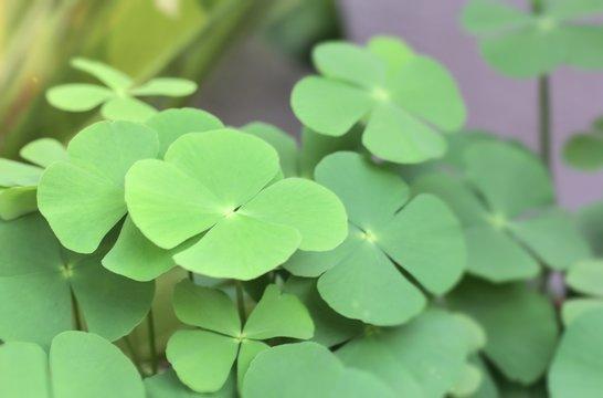 Shamrock, cloverleaf, Irish leaves, 4 complete petals, many big leaves, sunlight Background wind shadow st patrick religion St. Patrick's Festival Ireland