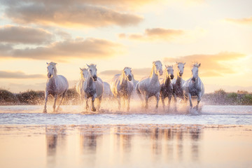 Wild white horses of Camargue running on water at sunset. Southern France Papier Peint