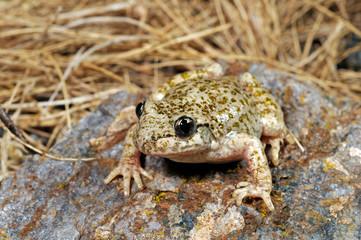 Printed kitchen splashbacks Frog Südostiberische Geburtshelferkröte (Alytes dickhilleni) - Betic midwife toad