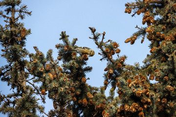 Two-barred Crossbill (Loxia leucoptera).