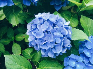 High Angle View Of Blue Hydrangea Flowers Blooming At Park