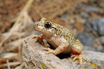 Aluminium Prints Frog Südostiberische Geburtshelferkröte (Alytes dickhilleni) - Betic midwife toad - Sierra de Cazorla, Spanien / Spain