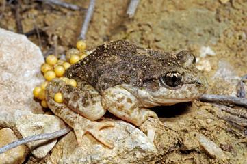 Aluminium Prints Frog Betic midwife toad / Südostiberische Geburtshelferkröte (Alytes dickhilleni) - Sierra de Cazorla, Spain / Spanien