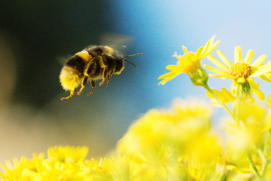 Close-up Of Bumblebee Flying Over Yellow Daisies