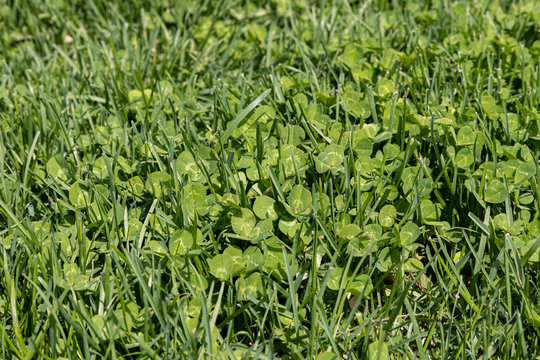 Clover weeds growing in green grass of yard. Concept of home DIY lawn care maintenance and landscaping