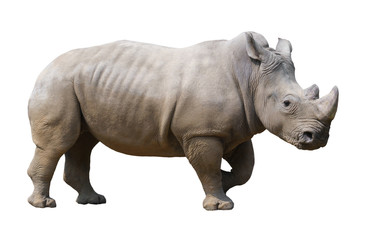 Wall Mural - white rhinoceros isolated