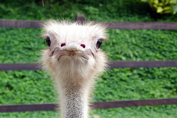 portrait of an ostrich at the zoo in Pereira, Risaralda, Colombia.
