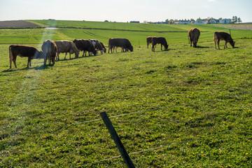 Wall Mural - Kühe und Rinder auf der Weide