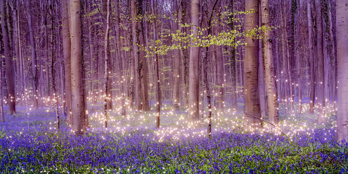 A magically enchanting fairytale forest landscape with shimmering pixie dust stars over a beautiful carpet of blue bluebells among the tall deciduous trees on a spring day in Belgium.