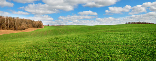 Wall Mural - springtime panorama of greenfields winter wheat hills, near forest and cloudy sky