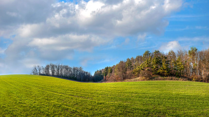 Wall Mural - panoramic view hilly terrain of fields with winter wheat near pine forest