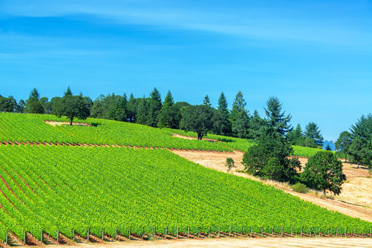 Scenic View Of Vineyard At Willamette Valley Against Blue Sky