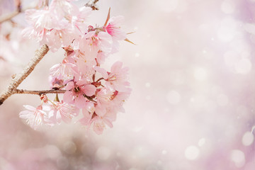 Wall Mural - Close-up beautiful pink cherry blossom sakura in spring time over soft background with bokeh.
