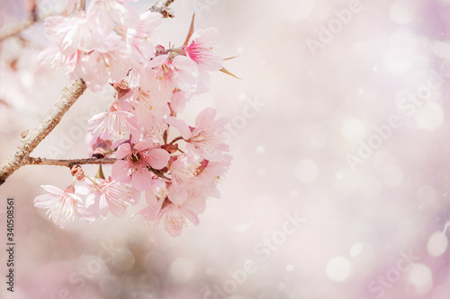 Wall mural Close-up beautiful pink cherry blossom sakura in spring time over soft background with bokeh.