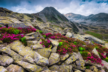 Wall Mural - Pink rhododendron flowers on the stones, Retezat mountains, Carpathians, Romania