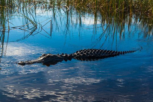 Alligator Swimming In Sea