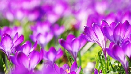 Fototapeta Close-up Of Purple Crocus Blooming Outdoors