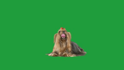 Wall Mural - yorkshire terrier on green screen