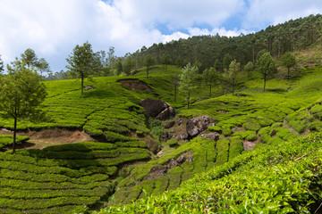 Tea plantation landscape in Munnar Kerala