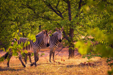 Two zebras at sunset in Etosha National Park, Namibia