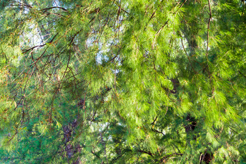 Wall Mural - Full frame Bright green color of beach pine leaves