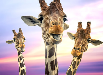 Three giraffes with a colorful sky in the background Wall mural