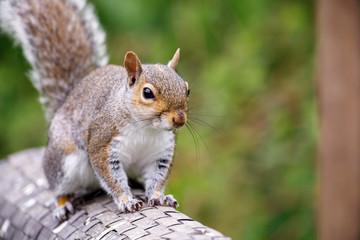 Grey squirrel (Sciurus carolinensis) UK garden
