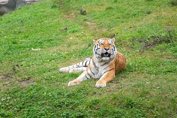 Printed kitchen splashbacks Tiger The tiger (Panthera tigris) is the largest species among the Felidae and classified in the genus Panthera.