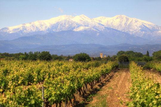 Vignoble avec vue sur le Mont Canigou dans les Pyrénées orientales (France)