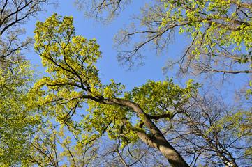 Baumkrone im Frühling in der Eilenriede in Hannover
