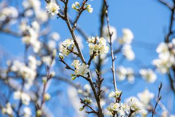 Obraz Kwitnące drzewo owocowe. Białe kwiaty na tle błękitnego nieba. - fototapety do salonu