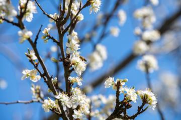 Obraz Pszczoła zapyla kwiaty. Kwitnące drzewo owocowe. Białe kwiaty na tle błękitnego nieba. - fototapety do salonu
